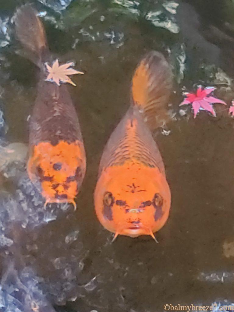 人の顔に似ている鯉